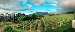 Wine Farm Vineyard Sunny