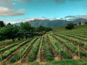 Vineyards Western Cape